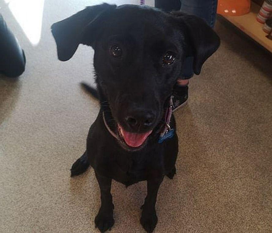 La langue d'une chienne a presque été coupée en deux quand elle est restée coincée dans un jouet en caoutchouc