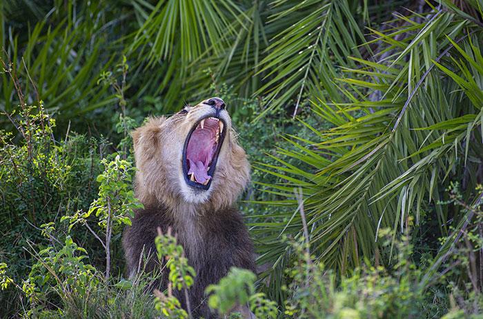 Ce lion a poussé un énorme rugissement et a donné à ce photographe le «choc de sa vie», puis lui a fait un clin d'oeil et un sourire