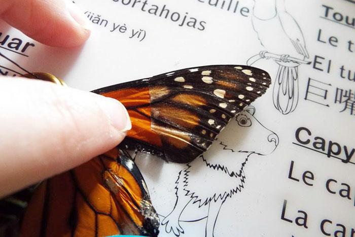 Un zoo a demandé l'aide d'une femme pour réparer les ailes d'un papillon, alors elle lui a fait une transplantation