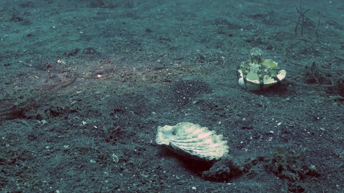 Un plongeur a convaincu un bébé pieuvre d'abandonner son verre en plastique en échange d'un coquillage