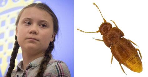 Des scientifiques ont nommé une nouvelle espèce de scarabée d'après Greta Thunberg