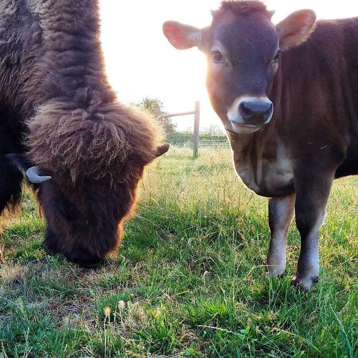 Aveugle, seule et ignorée par tous les autres animaux, Helen le bison semblait destinée à la solitude, mais elle rencontra Oliver