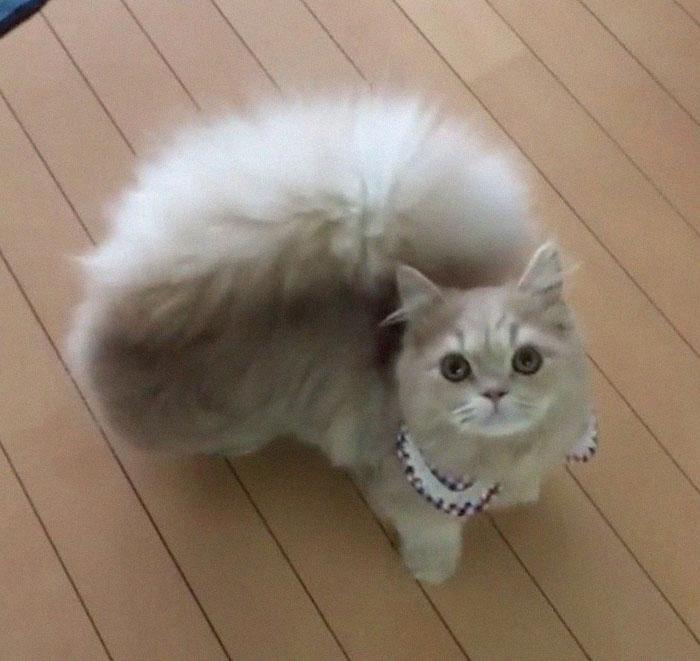 Cette chatte a une queue majestueuse et duveteuse comme celle d'un écureuil