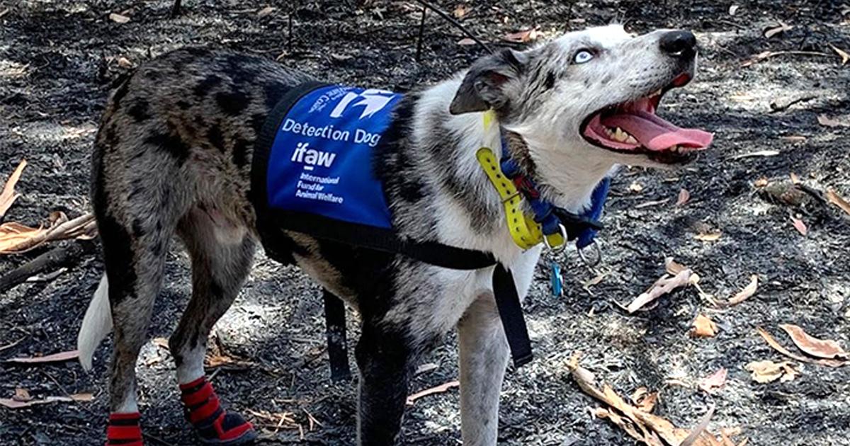Ce chien héros a été chargé de trouver les koalas qui ont survécu aux feux de forêt en Australie