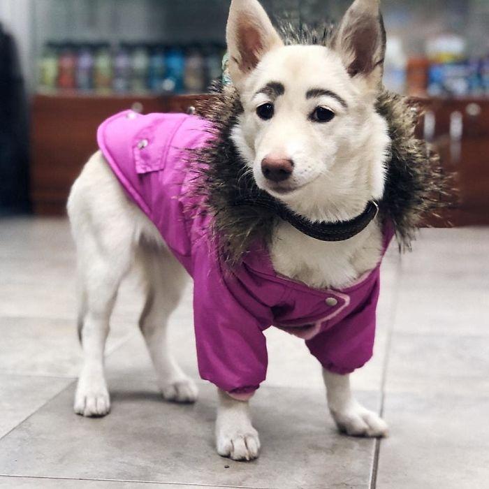 Les gens ont essayé de laver les sourcils de cette chienne seulement pour découvrir qu'ils n'étaient pas dessinés