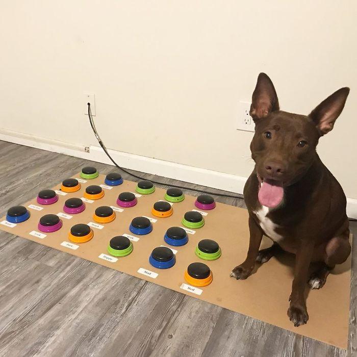 Cette chienne a appris à parler en utilisant une machine à mots et elle connaît déjà 29 mots