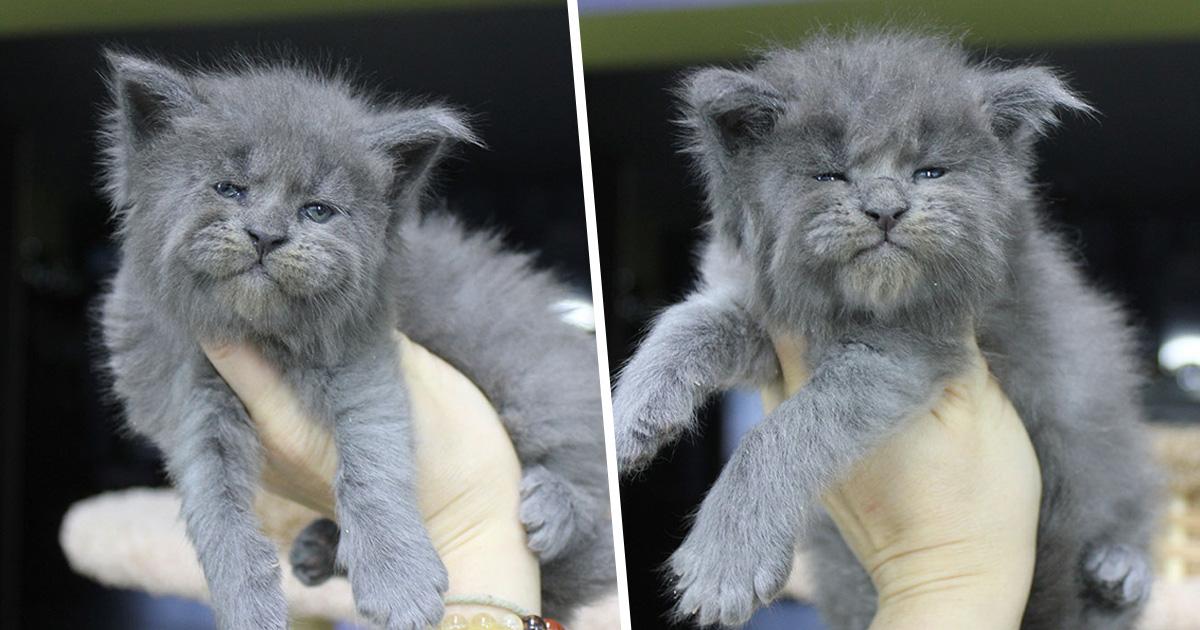 Ces 5 chatons maine coons sont nés avec des visages mignons, mais grincheux