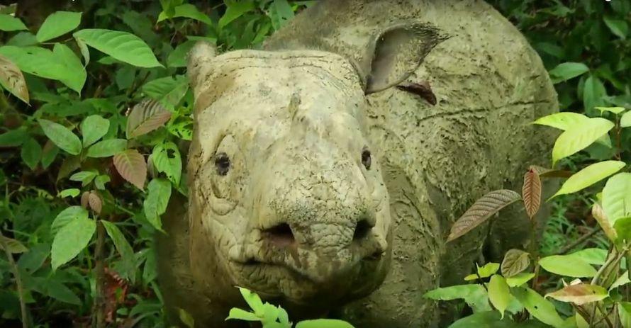 Le dernier rhinocéros de Sumatra en Malaisie est mort