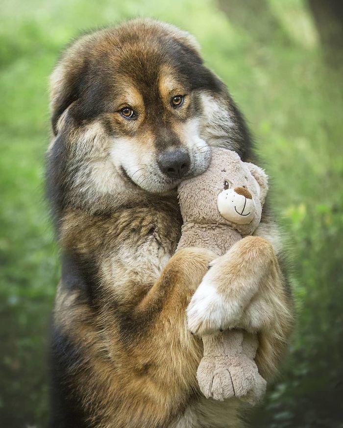 Les gens publient des photos drôles et mignonnes de dogues du Tibet, et ce sont vraiment les plus doux des géants (33 images)