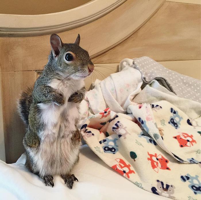 Cet écureuil sauvé de l'ouragan Isaac ne peut pas dormir sans son ours en peluche