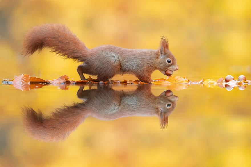 Ce photographe attend des heures pour capturer des écureuils transportant une noix sur un lac (8 images)