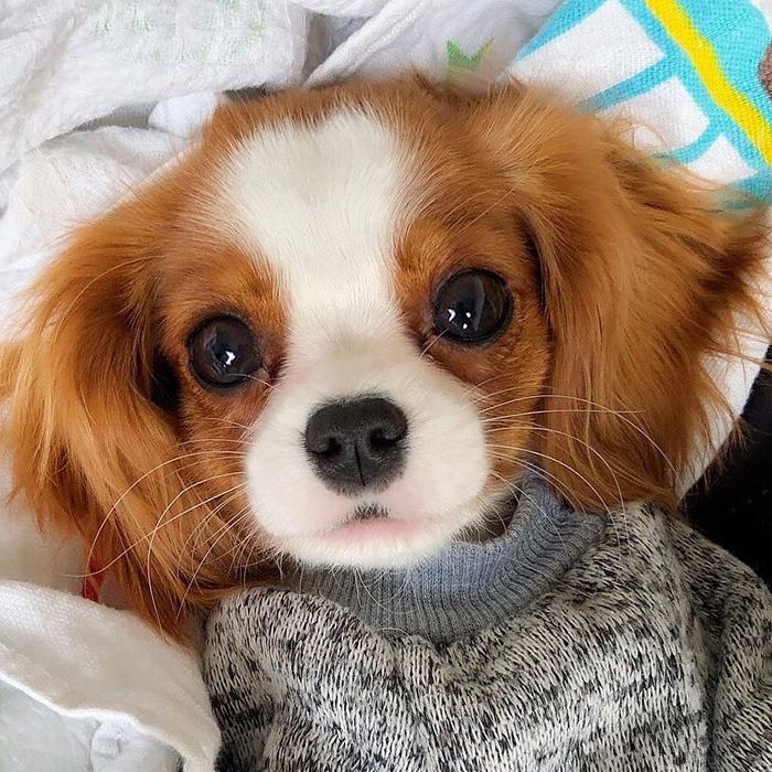 Cet adorable chiot de 2 ans est si petit qu'il est difficile de croire qu'il a fini de grandir (22 images)
