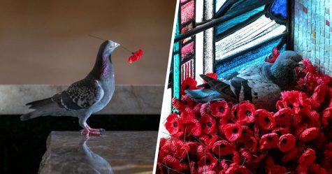 Ce pigeon a construit un nid après avoir volé des coquelicots de la tombe d'un soldat inconnu