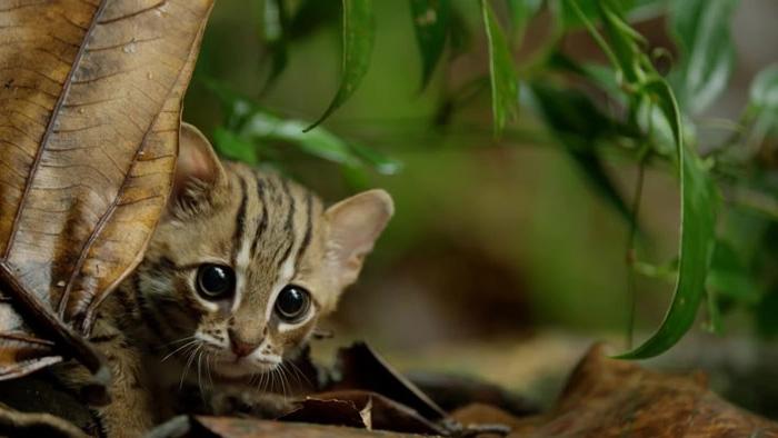Voici le plus petit chat sauvage du monde, et c'est peut-être le truc le plus mignon que tu verras aujourd'hui