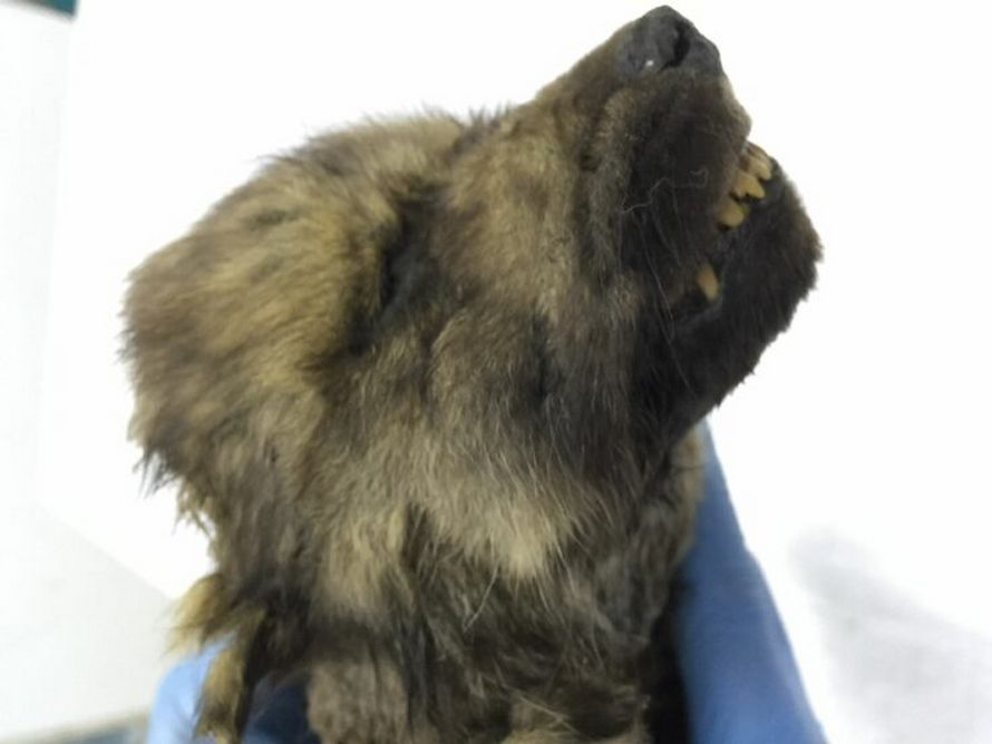 Ce chiot de 18000 ans trouvé figé dans la glace est le «plus vieux chien connu» de l'histoire