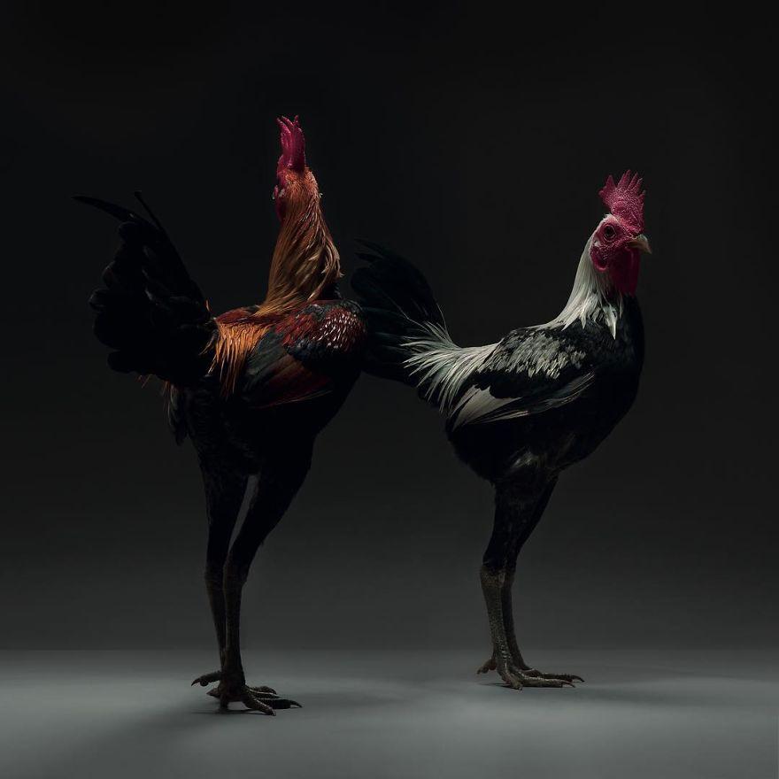 Ces 24 photographies de couples de poulets montrent la diversité de l'amour