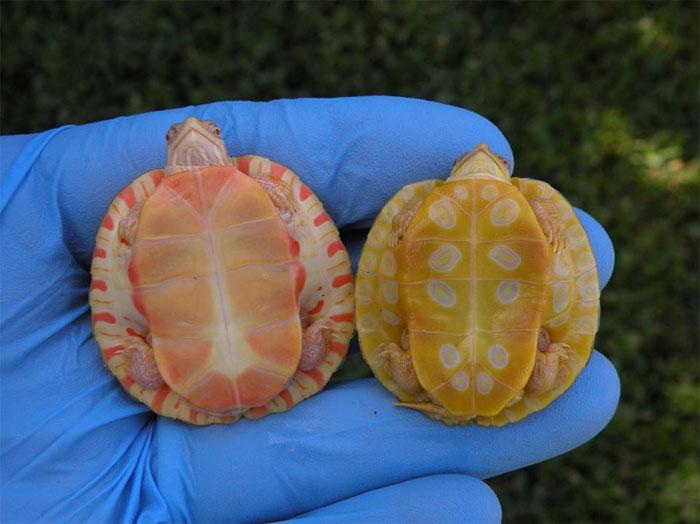 Apparemment, les tortues albinos ressemblent à des dragons cracheurs de feu (18 images)