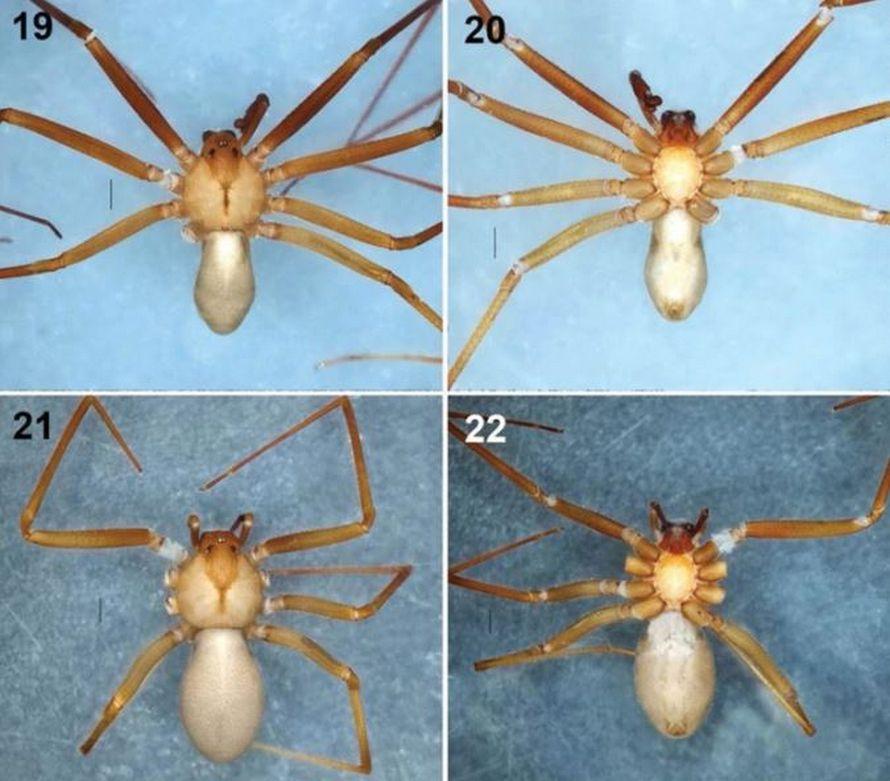Cette nouvelle espèce d'araignées peut faire pourrir la chair humaine avec une seule morsure