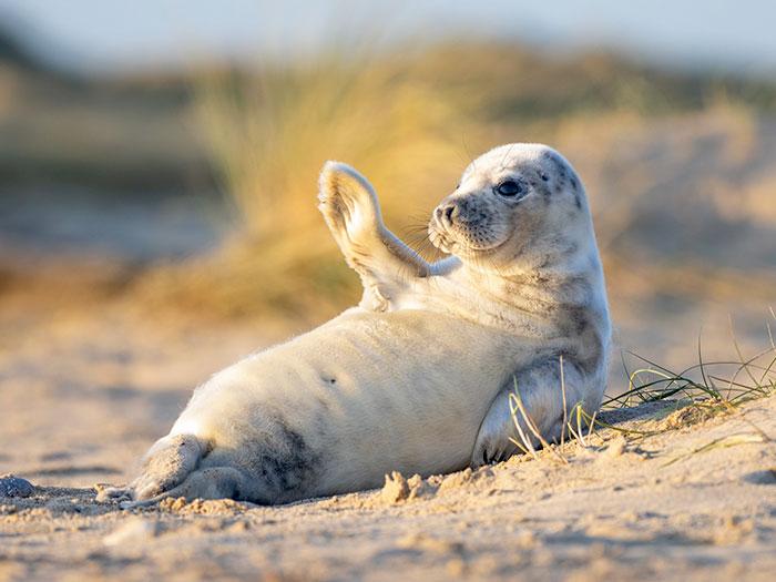Ce bébé phoque a salué un photographe sur une plage