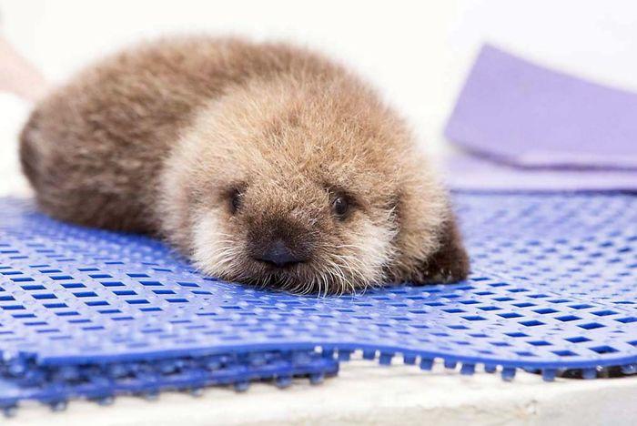 Si tu es déprimé, ces 22 photos de bébés loutres vont te faire sourire