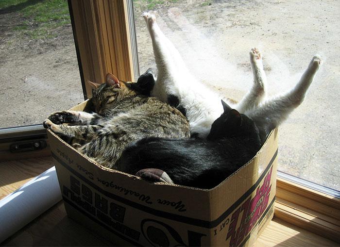 Les chats adorent les boîtes parce qu'elles réduisent le stress, selon la science