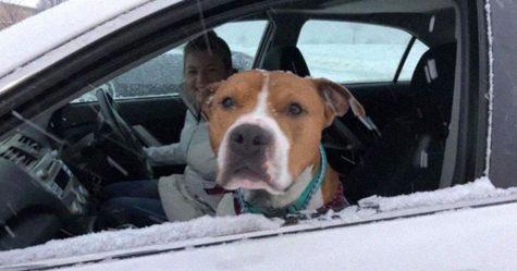 Ce pitbull volé retrouvé à 3200 kilomètres est rentré chez lui pour Noël avec l'aide de 15 bénévoles