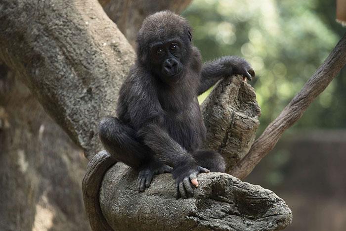 Un gorille né avec un manque de pigmentation sur les doigts a surpris les gens