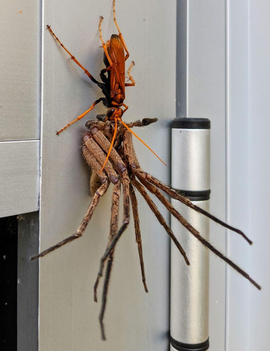 Une énorme guêpe pepsis a emporté une araignée pour se régaler en Australie