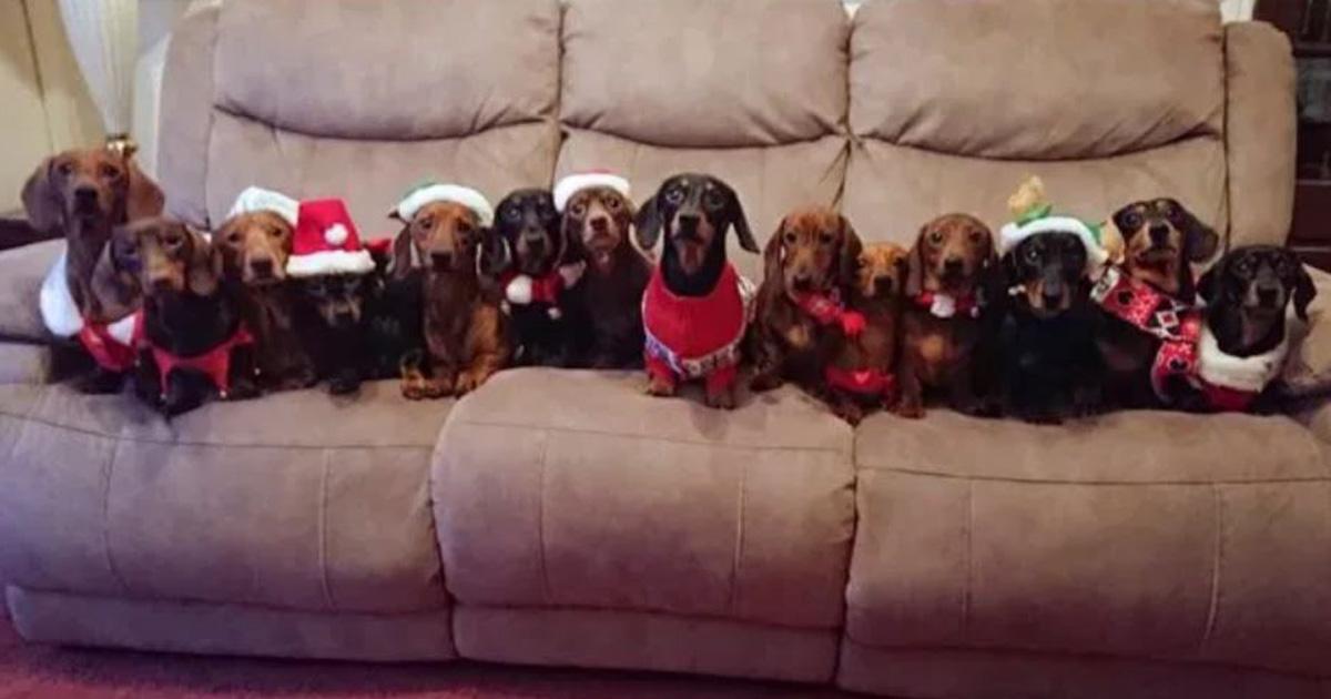 Un homme a aligné ses 17 chiens-saucisses vêtus de pulls festifs pour la photo de Noël parfaite