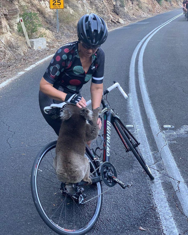 Un koala déshydraté et désespéré a arrêté une cycliste pour lui demander de l'aide