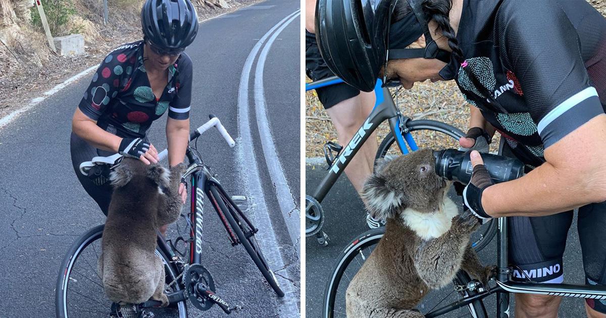 Incendies en Australie : 8000 koalas auraient péri dans les feux de forêts