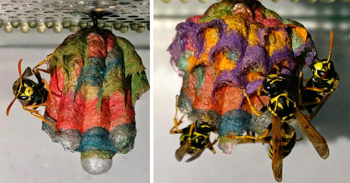 Quand des guêpes reçoivent du papier coloré, elles construisent des nids arc-en-ciel