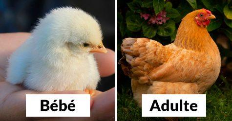 22 oiseaux quand ils sont bébés versus quand ils sont adultes
