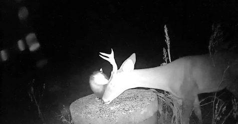 Une caméra a accidentellement capturé le moment où un opossum a aidé un cerf en retirant les tiques de son visage