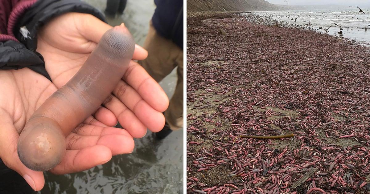 Des milliers de «poissons pénis» ont échoué sur une plage