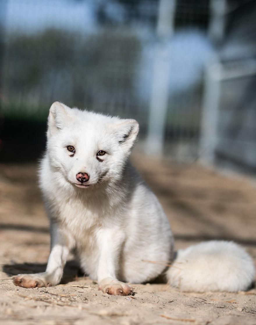 Ce renard sauvé d'un élevage d'animaux à fourrure a célébré son premier Noël en dehors de sa minuscule cage