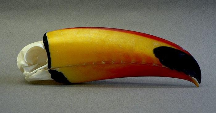 Les gens viennent de réaliser que les toucans sont plus étranges qu'ils ne le pensaient et partagent des faits à leur sujet dans un fil viral