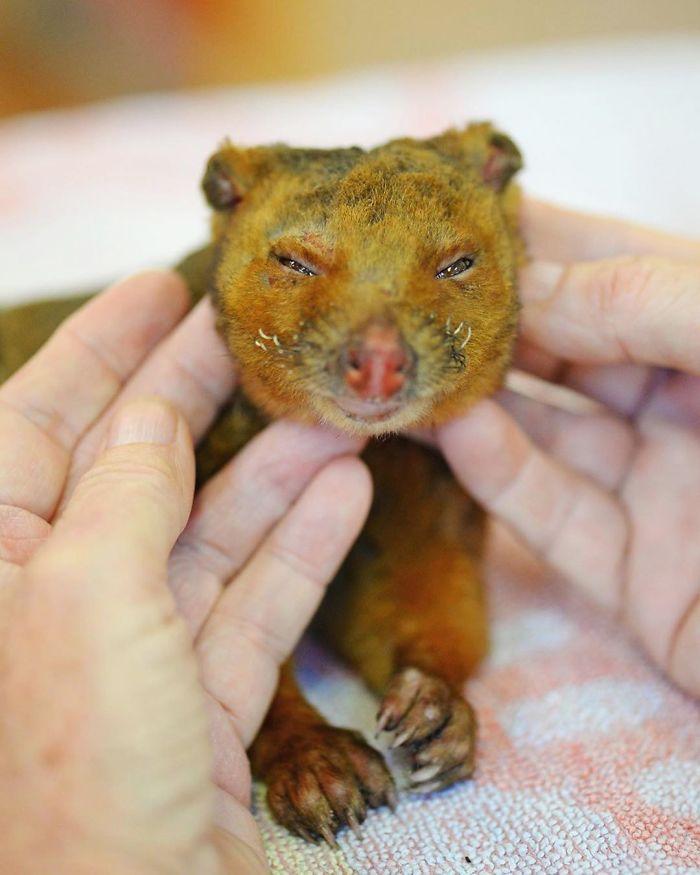 Plus de 25000 koalas sont morts dans un feu de forêt sur l'île Kangourou