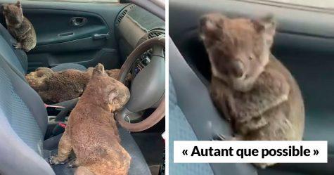 Des adolescents australiens sauvent autant de koalas que possible en conduisant et cherchant tous les survivants