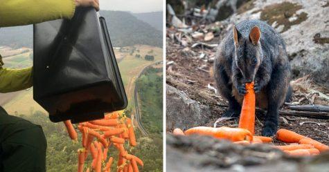 Des avions ont largué des milliers de kilogrammes de carottes et de pommes de terre pour les animaux affamés
