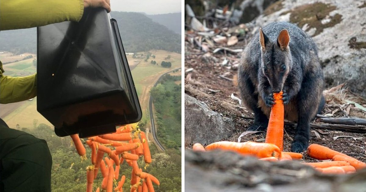 Des carottes sont distribuées par les airs aux wallabies — Australie