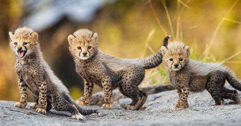 Ces adorables bébés guépards ont «dit bonjour au monde» en faisant leurs premiers pas