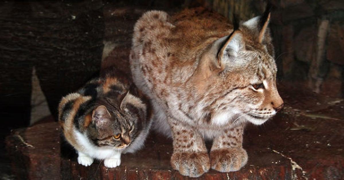 Cette chatte s'est faufilée dans un zoo et est devenue amie avec un lynx