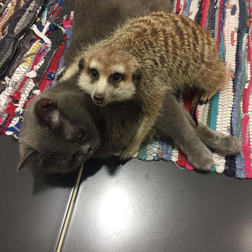 Ce suricate et ce chat sont devenus meilleurs amis dès le premier jour, et ensemble, ils ont conquis le coeur des gens (22 images)