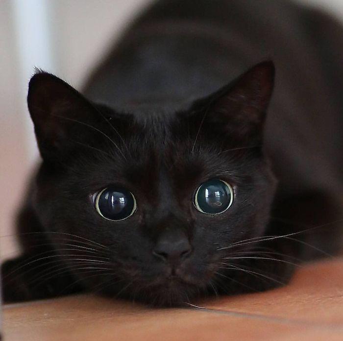 Quelqu'un a remarqué que les panthères ne sont que des chats noirs de taille XXXL et les a comparés en 16 images