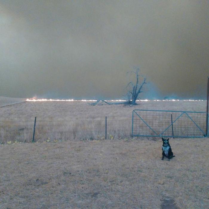 Cette chienne a sauvé un troupeau de moutons des feux de forêt qui font rage en Australie