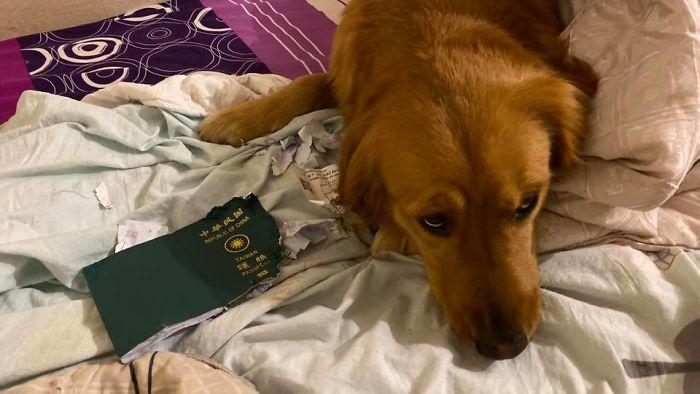 Cette chienne a empêché sa propriétaire d'aller à Wuhan en détruisant son passeport, ce qui l'a possiblement sauvée