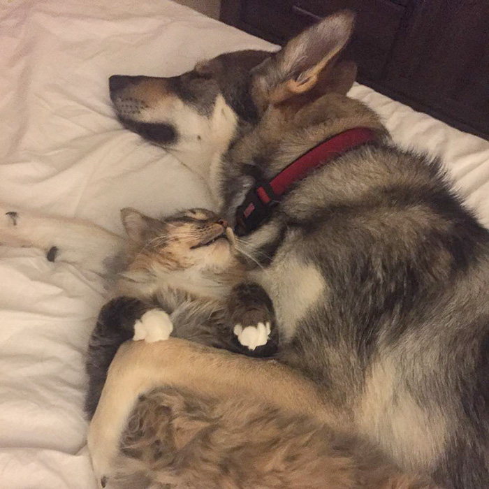 Ce husky a choisi son propre chaton dans un refuge pour le ramener à la maison