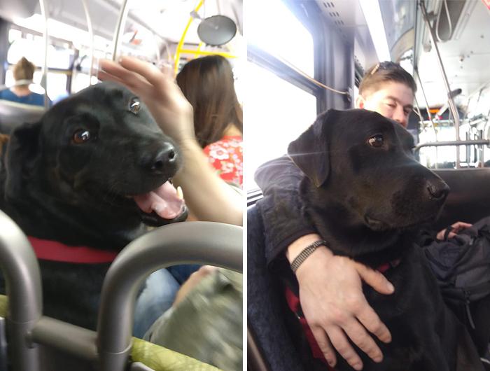 Cette bonne fille prend le bus tous les jours pour aller au parc à chiens toute seule et elle a même son propre laissez-passer de bus attaché à son collier