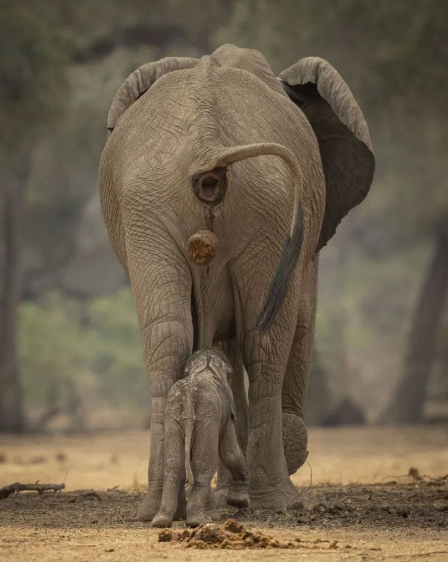 Cet éléphant a été surpris à faire caca directement sur la tête de son bébé